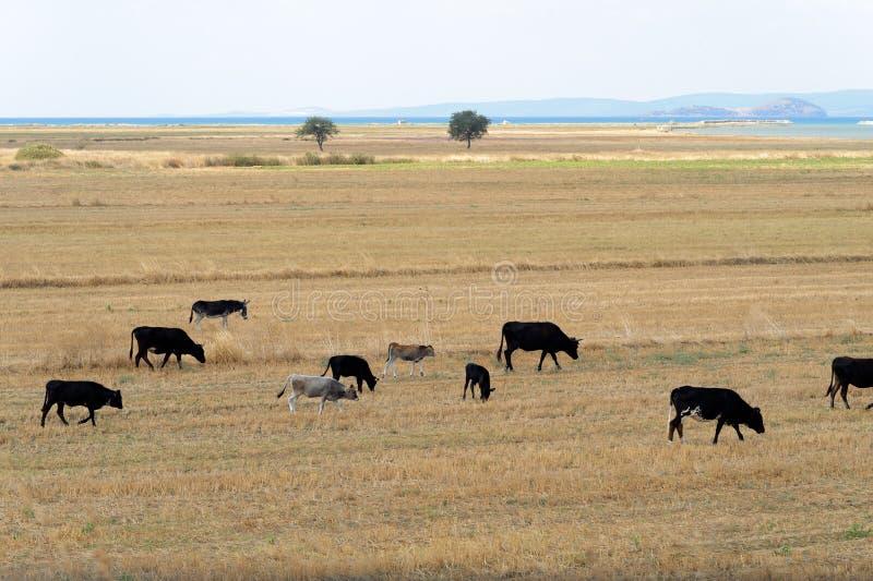 Kühe auf geerntetem Wiesenfeld stockfotografie