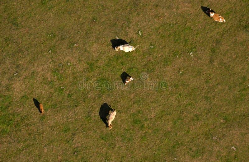 Download Kühe auf Weide stockfoto. Bild von grün, gras, field - 12202230