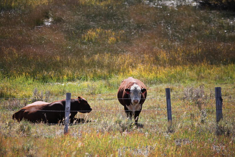 Kühe am Bauernhof lizenzfreie stockfotos
