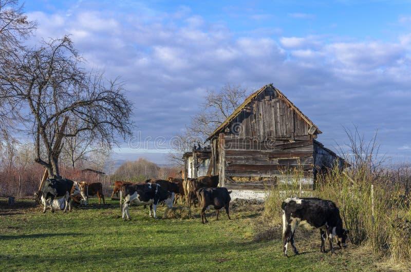 Kühe am Bauernhof stockbilder