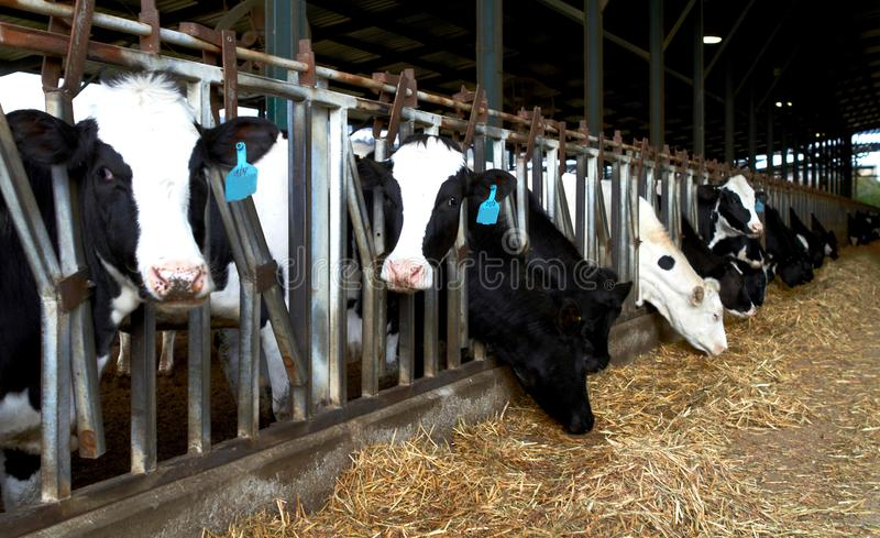 Kühe bewirtschaften Kibbuzim, Israel Spring Feeding lizenzfreies stockbild