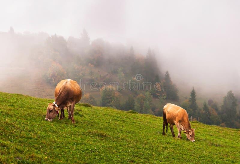 Kühe in den Alpen lizenzfreies stockbild