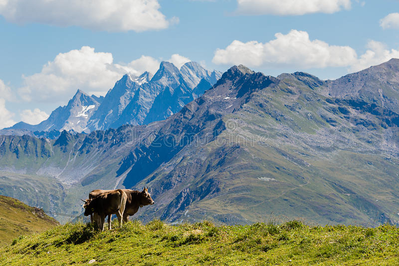 Kühe in den Bergen lizenzfreie stockfotografie
