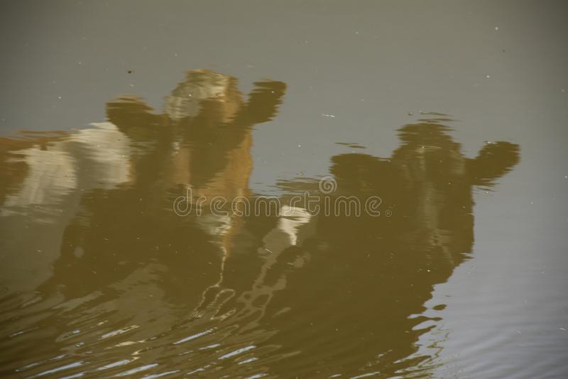 Kühe in den Reflexionen im Wasserbecken stockfotografie