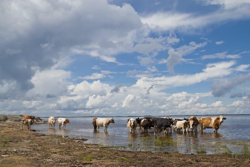 Kühe an der Bewässerung stockbild
