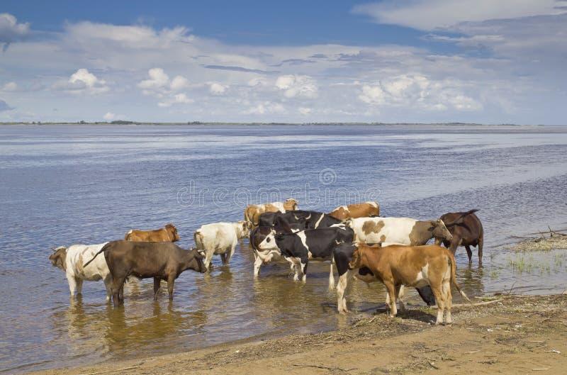 Kühe an der Bewässerung stockfoto
