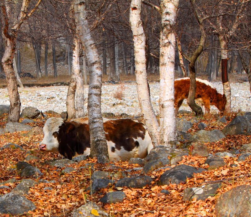 Kühe in der Birke in der Freizeit lizenzfreie stockbilder