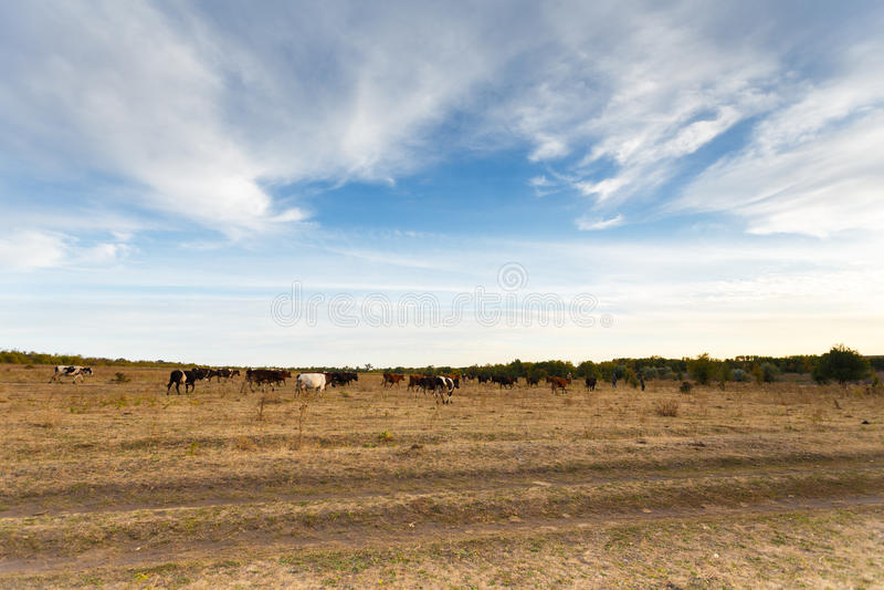 Kühe in der Herbstwiese stockbilder
