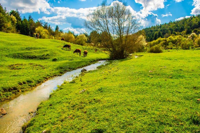 Kühe in der Hochebene in der Türkei Bolu stockfotografie