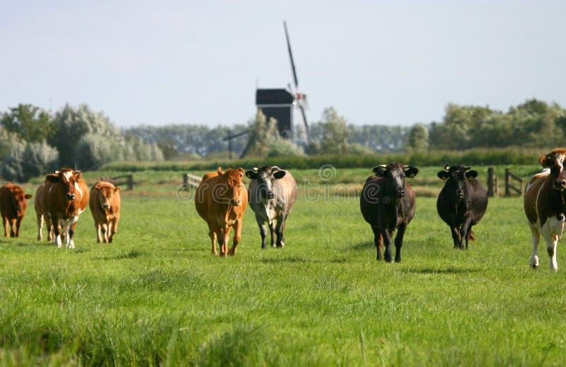 Kühe in der holländischen Landschaft wm1 lizenzfreie stockfotografie