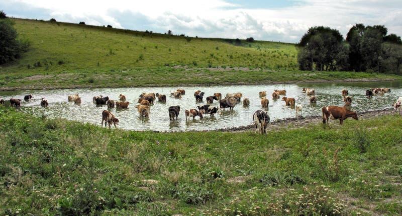 Kühe an der Wasserentnahmestelle stockbilder