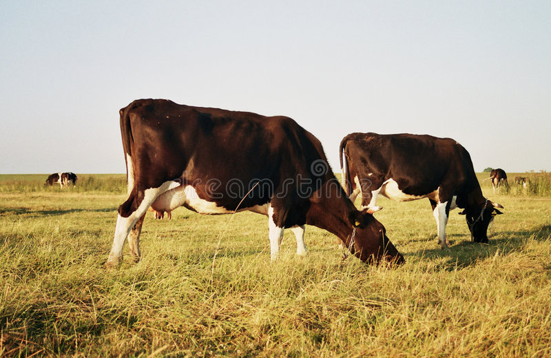 Kühe in der Weide stockbild