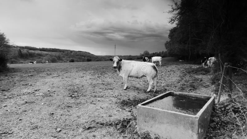 Kühe in der Wiese lizenzfreie stockfotografie