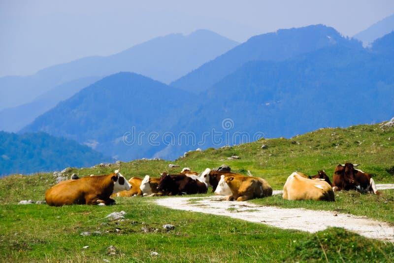 Kühe, die auf den Gebirgsgebieten sitzen stockfotografie