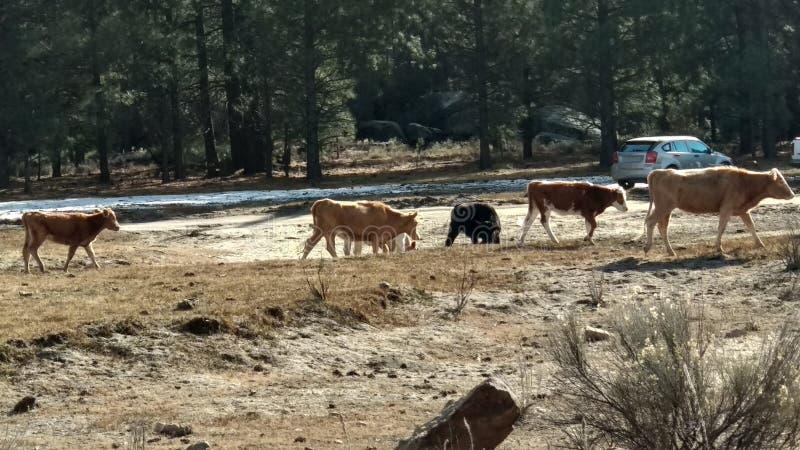 Kühe, die auf den Schnee gehen stockfotos