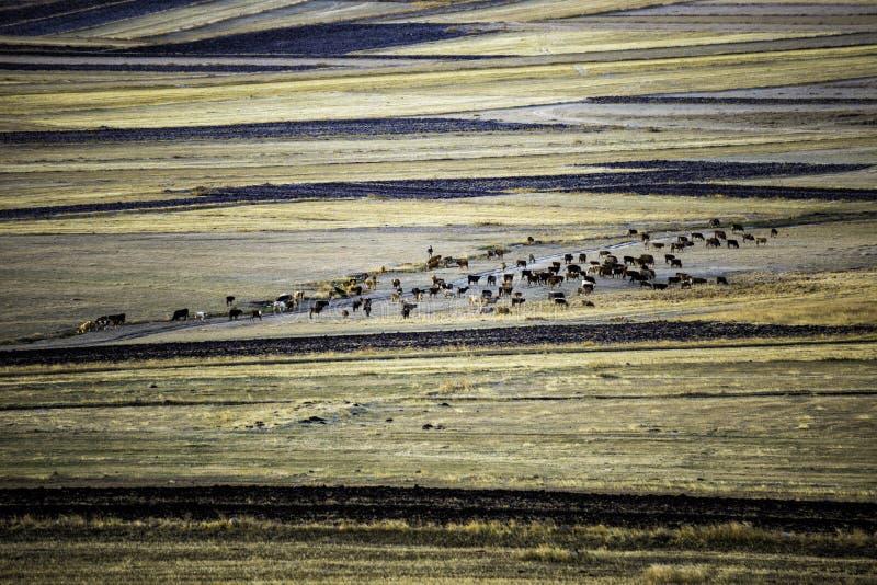 Kühe, die auf der Pastell-farbigen Wiese in der Herbstzeit weiden lassen stockfoto