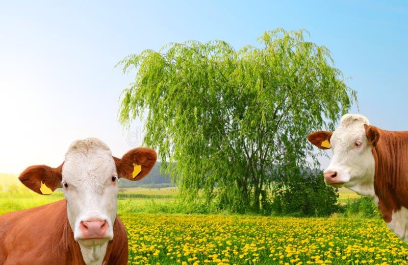 Kühe, die auf einer Frühlingswiese weiden lassen stockbild