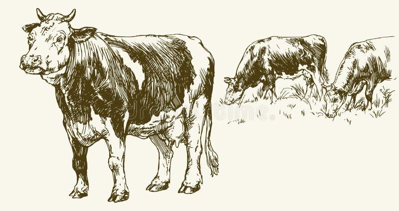 Kühe, die auf Wiese weiden lassen lizenzfreie abbildung