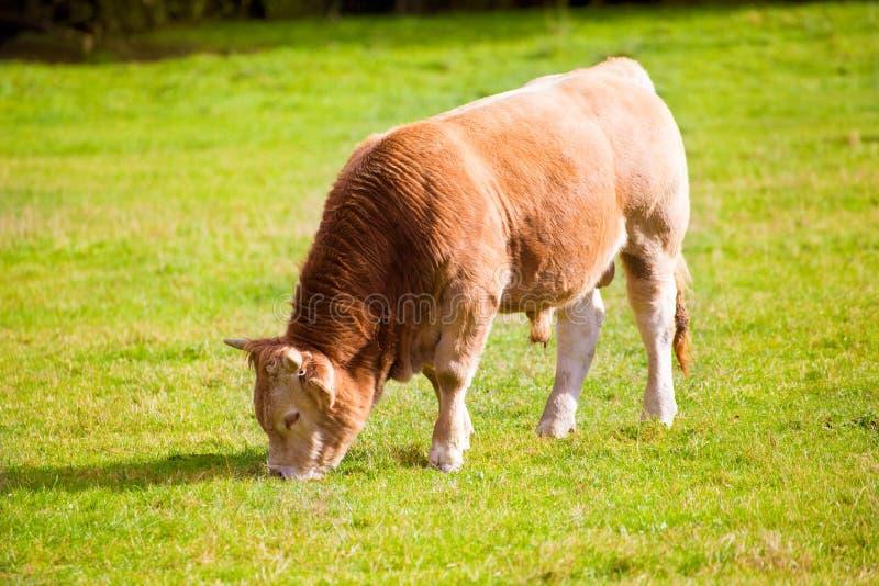 Kühe, die in den grünen Herbstwiesen Pyrenäen bei Spanien weiden lassen lizenzfreies stockbild