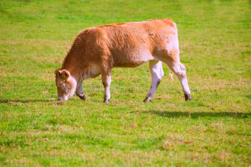 Kühe, die in den grünen Herbstwiesen Pyrenäen bei Spanien weiden lassen stockbild