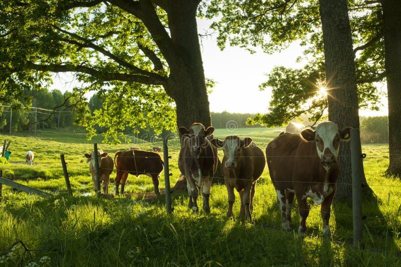 Kühe, die draußen auf Feld in Schweden stehen stockbild
