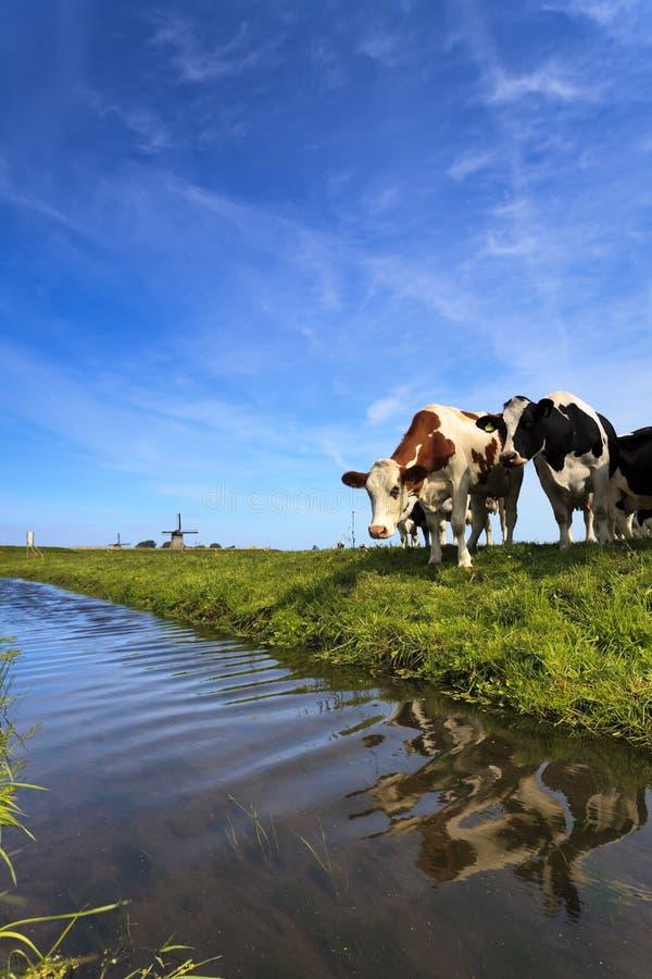 Kühe, die an einem Abzugsgraben stehen lizenzfreie stockfotos