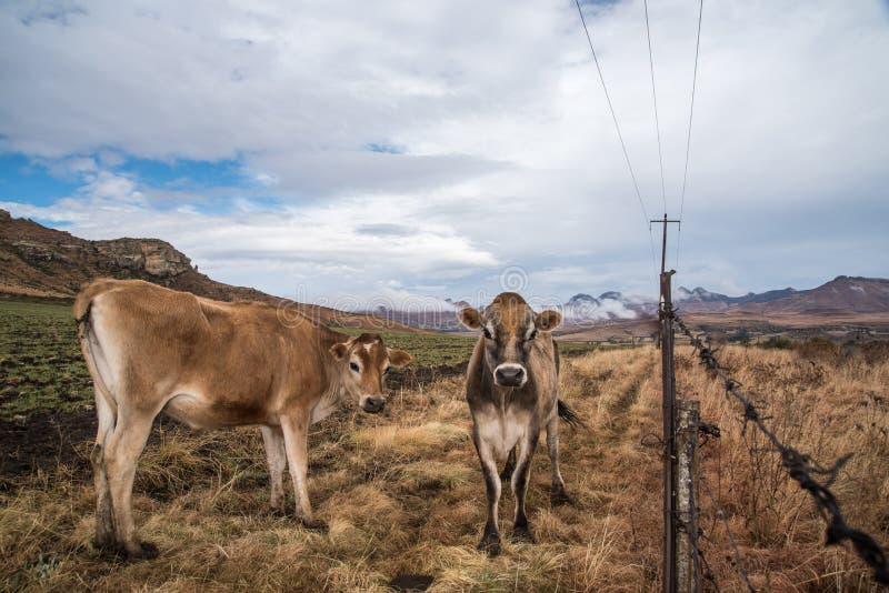 Kühe, die für die Kamera aufwerfen lizenzfreie stockfotos