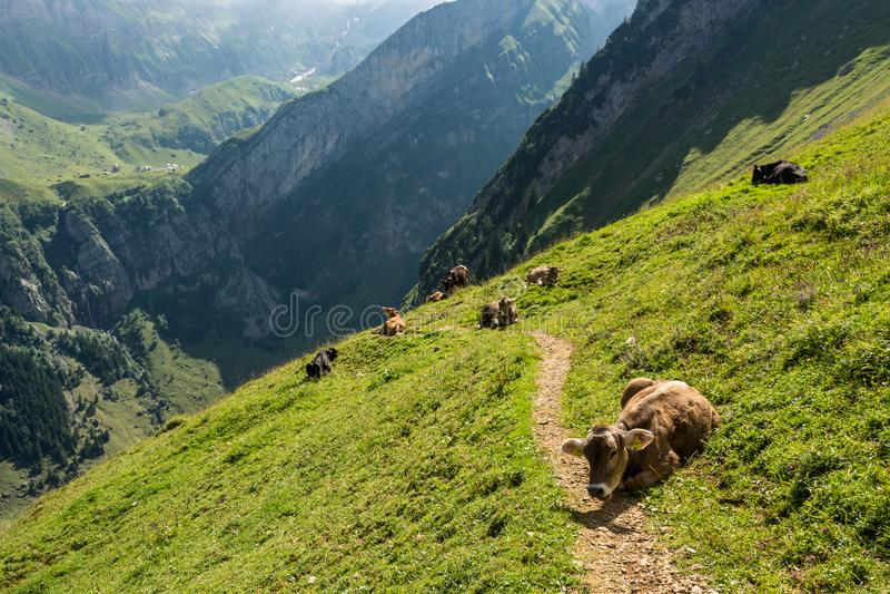 Kühe, die gehende Spur während der hohen Bergwanderung auf Schweizer A blockieren lizenzfreies stockbild