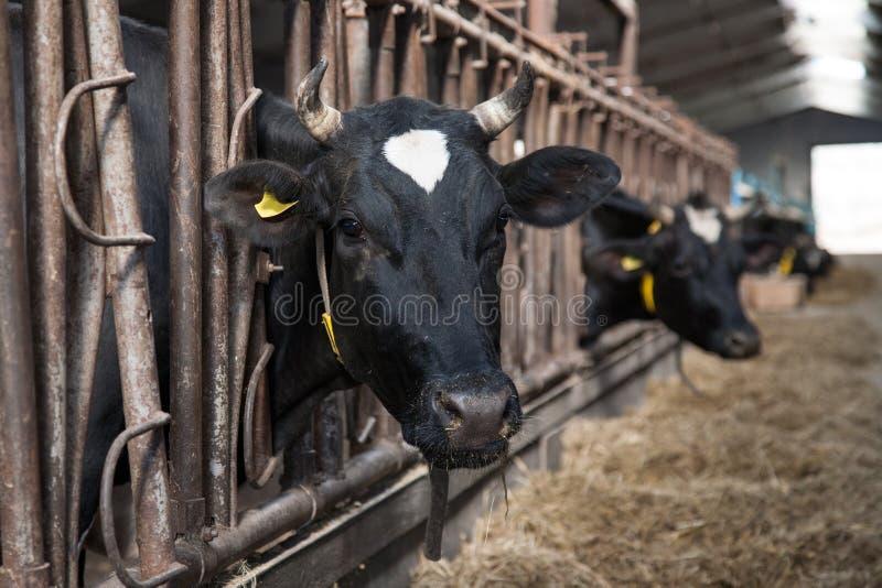 Kühe, die im Großen Kuhstall speisen stockfoto