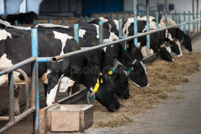 Kühe, die im Großen Kuhstall speisen stockfotografie