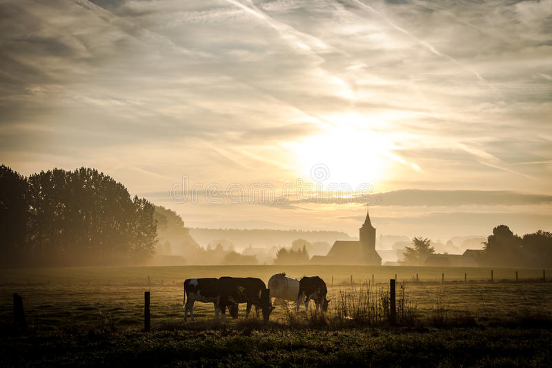 Kühe, die nahe Kirche weiden lassen lizenzfreies stockfoto