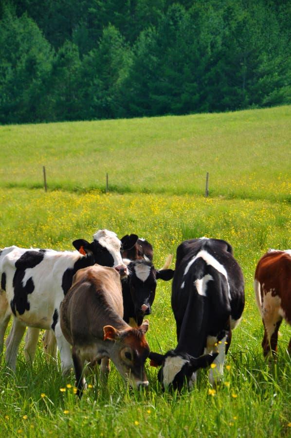 Kühe, die in Vermont zu Mittag essen lizenzfreies stockbild