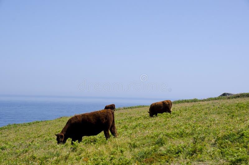 Kühe durch das Meer lizenzfreie stockfotos