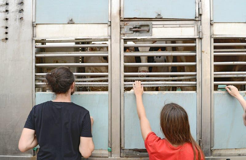 Kühe in einem LKW-Innenraum und Leute lieben sie draußen stockbilder