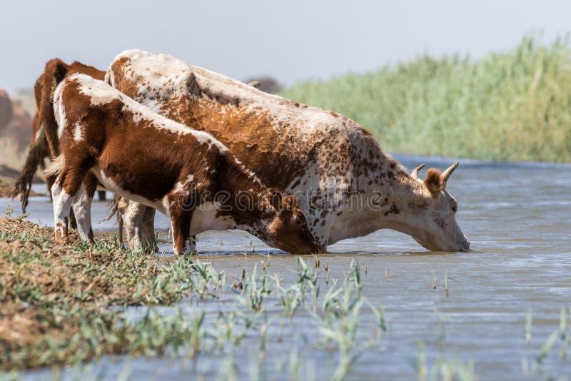 Kühe an einem Wasserentnahmestellegetränkwasser und während der starken Hitze und der Dürre baden lizenzfreies stockfoto