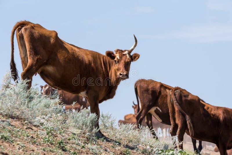 Kühe an einem Wasserentnahmestellegetränkwasser und während der starken Hitze und der Dürre baden lizenzfreie stockfotografie