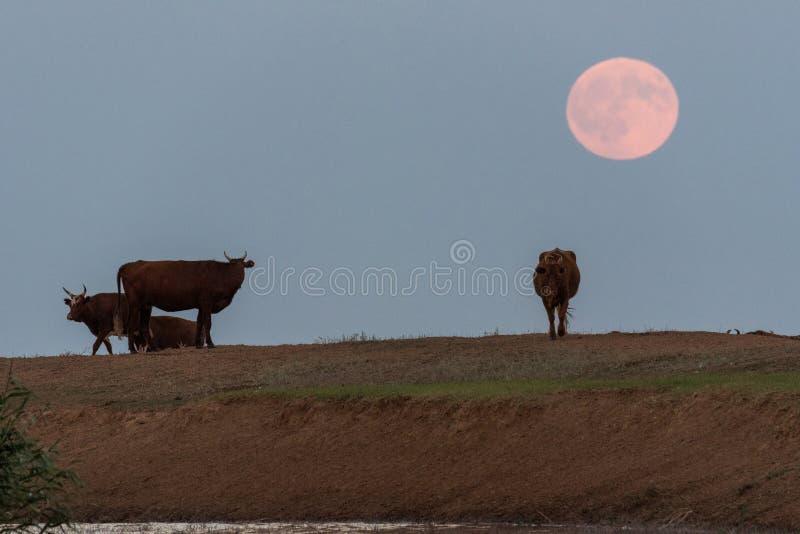 Kühe an einer Wasserentnahmestelle auf dem Hintergrund eines steigenden Vollmonds stockfoto