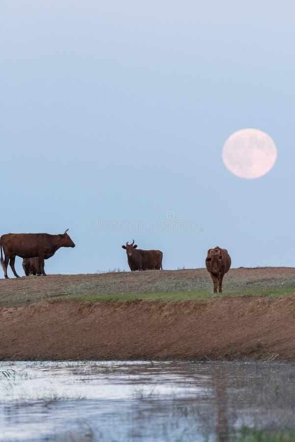 Kühe an einer Wasserentnahmestelle auf dem Hintergrund eines steigenden Vollmonds lizenzfreie stockfotografie