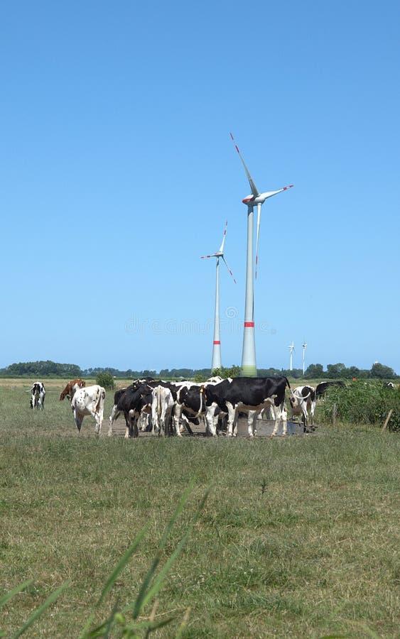 Kühe in einer Weide stockbilder