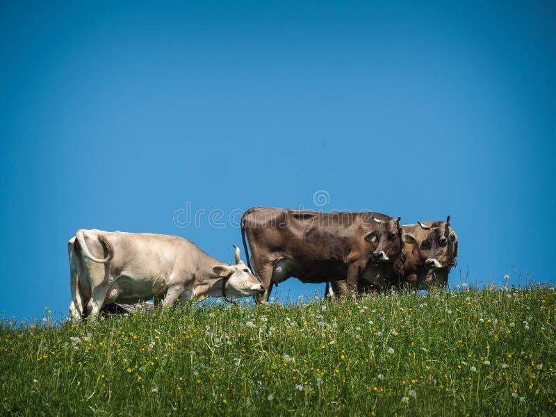 Kühe am Feld stockbild