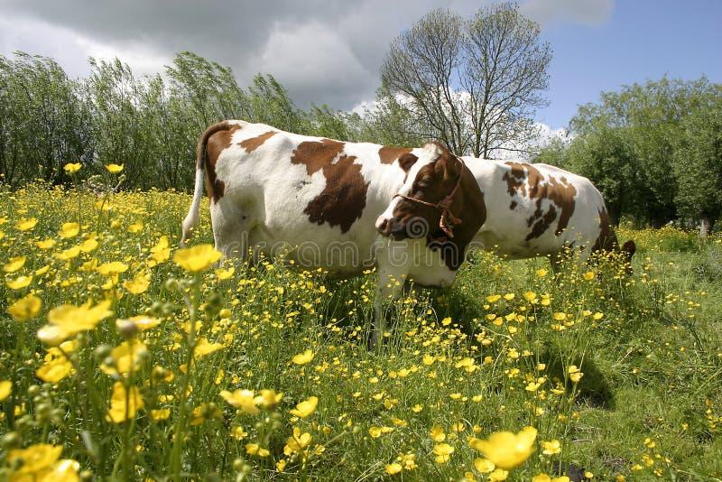 Kühe in holländischer Landschaft 2 lizenzfreies stockbild