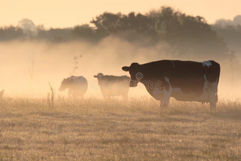 Kühe im eisigen Nebel des Morgens. lizenzfreies stockfoto