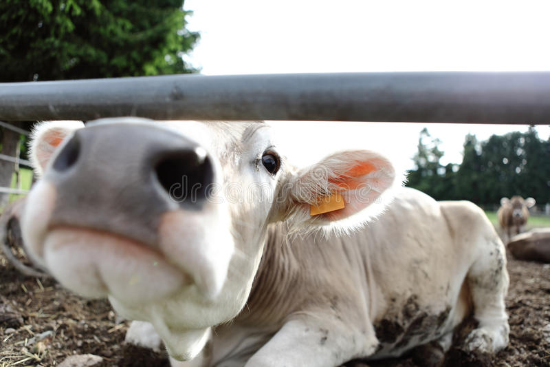 Kühe im Feldbauernhof stockfoto