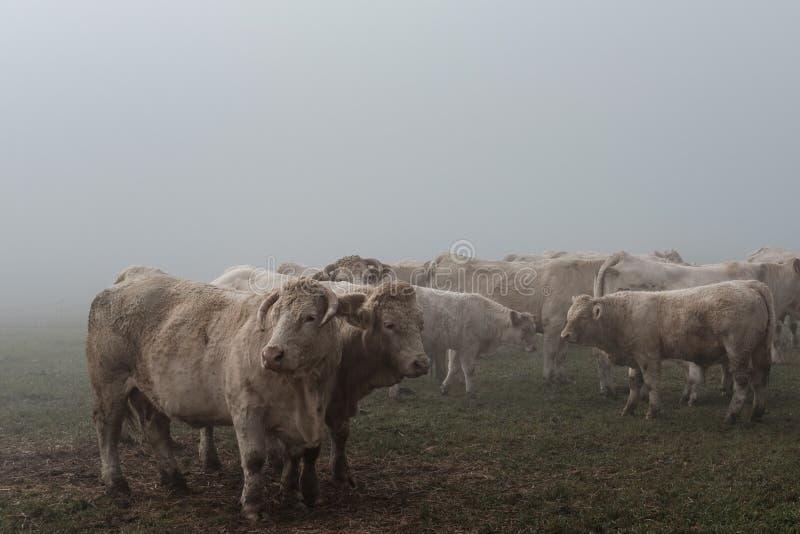 Kühe Im Nebel Free Public Domain Cc0 Image