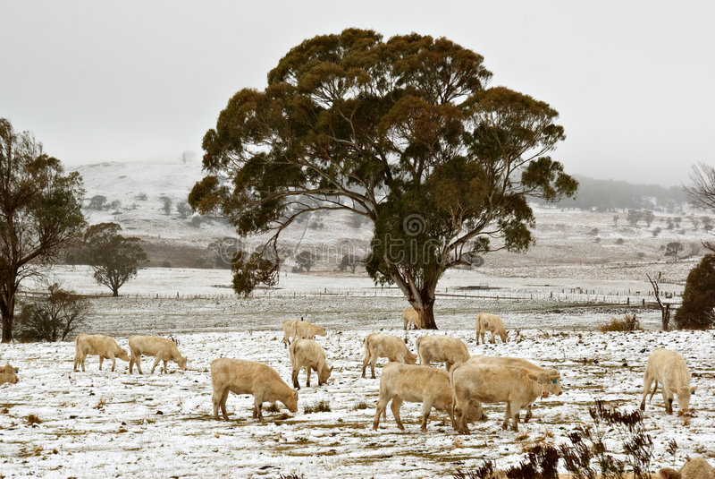 Kühe im Schnee auf dem Bauernhof lizenzfreies stockbild