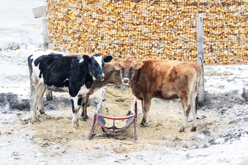 Kühe im Winter stockbild