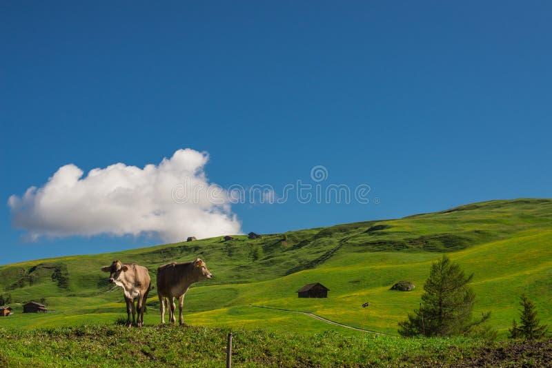 Kühe lassen auf dem Hügel weiden lizenzfreie stockfotografie