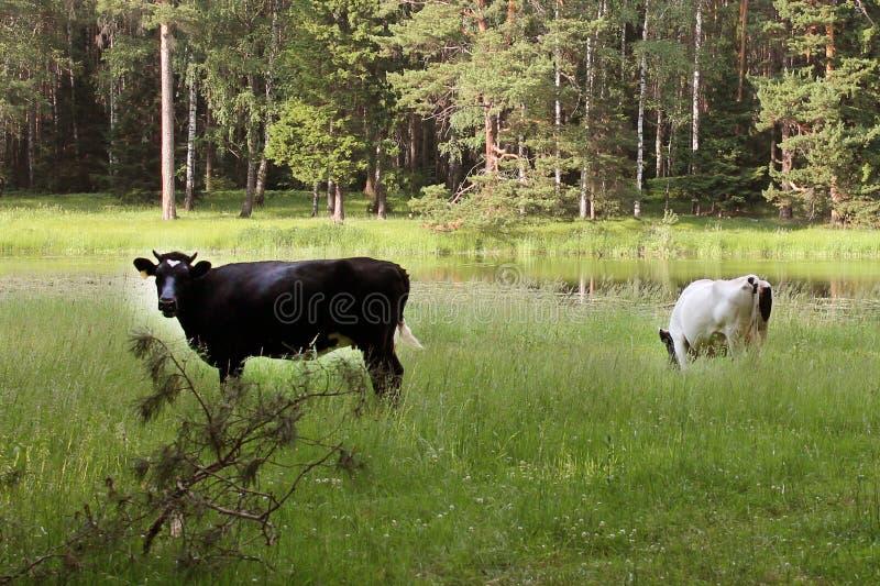 Kühe lassen in einer Wiese nahe einem Waldsee weiden lizenzfreie stockbilder