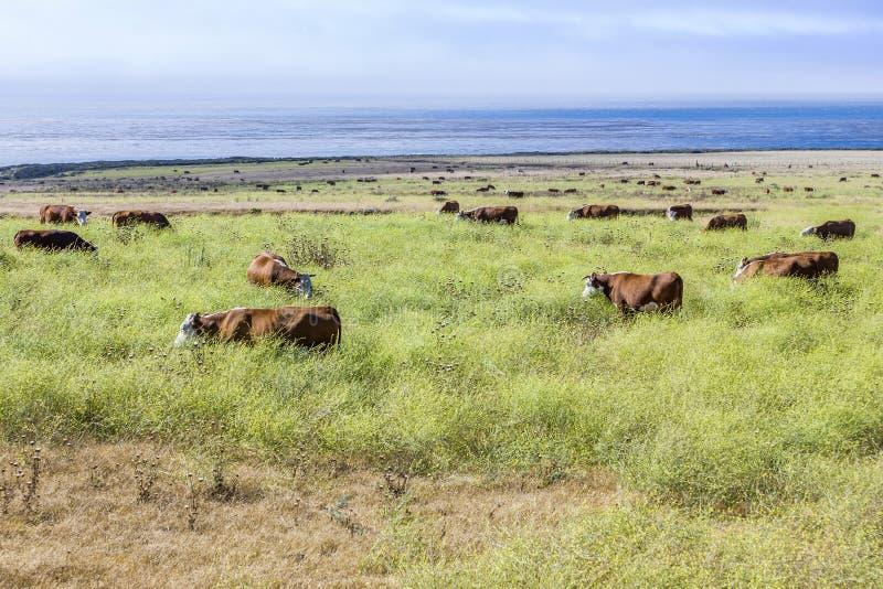 Kühe lassen frisches Gras auf einer Wiese in Andrew Molina State-Park weiden stockfoto