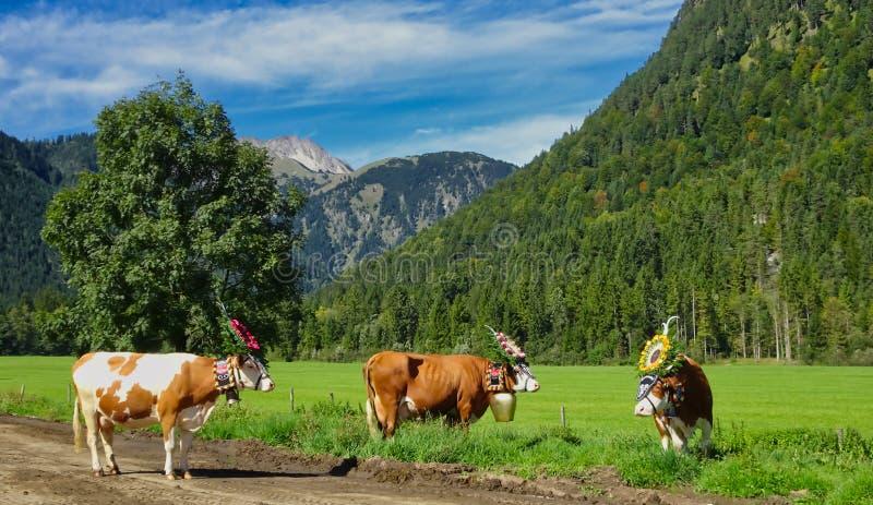 Kühe mit Glocken und Kopfschmucke im Tal lizenzfreies stockbild